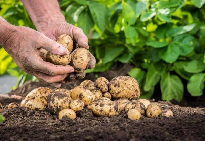 Kartofun Bu Möcüzəvi Faydalarını Bilirsinizmi? – Bu Xəstəlikləri MƏHV EDİR